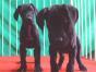 双血大丹犬 专业繁殖 可上门挑选 协议质保