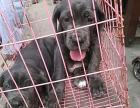 养殖 农村养殖肉狗及宠物犬行情,免费提供传授技术及运输