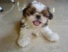 高端西施犬幼犬 专业繁殖血统纯正 专业信誉服务