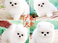 广泰犬舍深圳地区 出售精品博美犬 可签协议