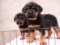 武汉纯种罗威纳犬幼犬价格多少钱一只