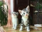 出售自家繁殖高品质纯种美短折耳猫