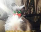 专注中高端宠物兔活体各种垂耳猫猫兔侏儒兔茶杯体宠物兔