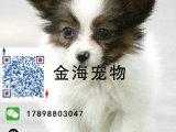 出售纯种蝴蝶犬活泼可爱疫苗驱虫已做齐全包健康签协议