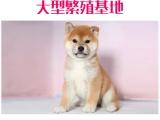 出售纯种柴犬 包纯种包健康终身质保