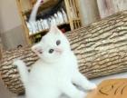 萌宠特价猫咪 美短 英短 渐层 加菲现货出