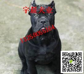 专业卡斯罗繁育犬舍 卡斯罗犬价格 血统卡斯罗犬多少钱