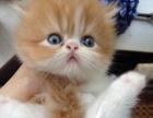 很萌的波斯猫,有喜欢他的吗