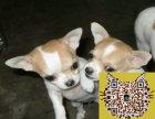 便宜出售纯种吉娃娃狗狗 吉娃娃狗狗交易 吉娃娃照片