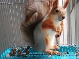 出售各种松鼠蜜袋鼯雪地松鼠魔王松鼠红腹黄山合格鼠