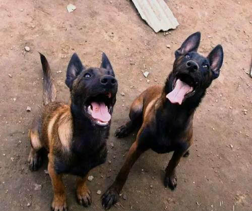 中国部队救援犬 马犬幼犬 马犬训练方法