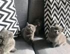 天津招财猫可爱的英国短毛猫 包子脸蓝猫价格 好看的蓝猫