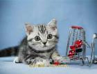 美国短毛猫虎斑纹清晰漂亮活泼可爱大气美短金虎斑猫
