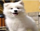 CKU认证犬舍 专业出售** 银狐犬幼犬多种血统供选购