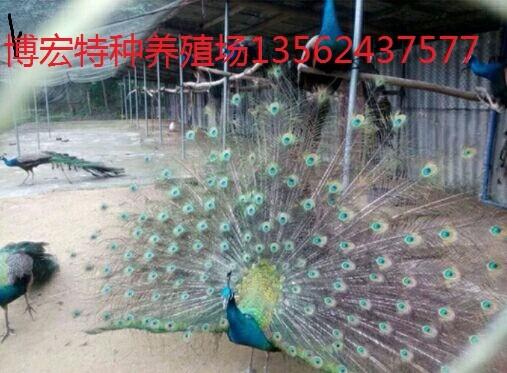 威海附近哪里卖孔雀