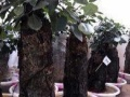 家里面的吸水石榕树盆景出售,800元一棵,非常漂亮