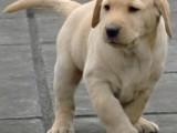 忠诚护卫犬 纯种健康 签合同