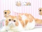 CFA红虎斑加白加菲猫种公对外借配800