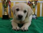 纯种拉布拉多幼犬宠物狗活体神犬小七拉布拉多犬导盲犬家养宠物狗
