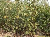 供应盆栽梨树苗黄金梨树 山东梨树苗种植基地