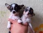 东莞那里有吉娃娃犬卖 东莞吉娃娃犬价格 东莞吉娃娃犬多少钱