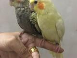 转让玄凤鹦鹉 小太阳 金刚 吸蜜 绯胸 灰鹦鹉 会说话
