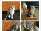家养美短虎斑加白猫咪 花纹漂亮健康可爱 可视频看猫