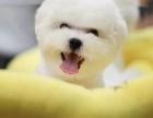 成都狗狗之家长期出售高品质 比熊 售后无忧