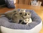 出售家养英短蓝白猫咪