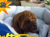 中国最好的沙皮犬 冠军血统 赛级品质 签合同质保