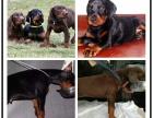 自己家养的双血统杜宾犬犬 颜值高 忍痛出售