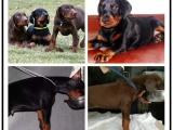 自己家養的雙血統杜賓犬犬 顏值高 忍痛出售