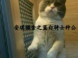 【安琪猫舍】正八蓝白高品质单血,纯种健康
