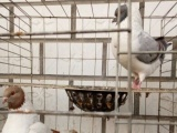 元宝鸽个体户喂养鸽子正在出售元宝鸽种鸽和幼崽