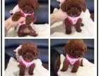 家养红棕色小体泰迪犬出售一只 品相完美 非常可爱