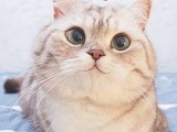 蕪湖CFA貓舍繁殖雙色布偶貓 甜美品相 性格親人