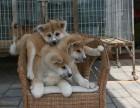 宠物店里的秋田犬可以买吗 健不健康
