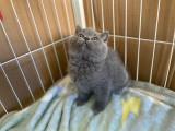 自家单血统英国短毛猫蓝猫蓝白折耳立耳