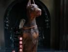 青岛哪里出售纯种杜宾犬幼犬