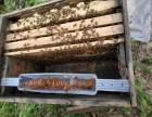 正宗农家酿制纯天然土蜂蜜