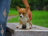 纯种的柯基犬多少钱 宠物店的狗靠谱吗