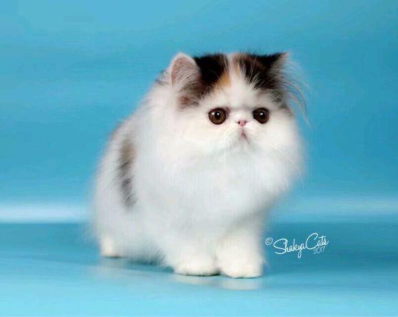 北京哪里有波斯猫卖 纯种 无病无廯 协议质保