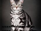 出售纯血统英国短毛猫英短蓝白渐层包纯种健?#23548;?#26684;优惠