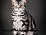 银渐层自家繁育赛级双血统纯种英国短毛猫活体宠物猫