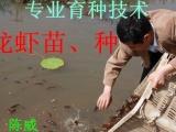 小龙虾养殖技术 小龙虾养殖成本 小龙虾虾苗批发