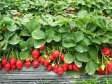 冬季大棚草莓人工授粉的方式