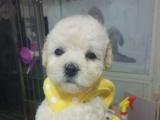 出售泰迪犬幼犬 公母都有 疫苗齐全 可上门看狗