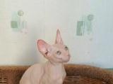 欧洲鸳鸯眼带证书斯芬克斯种公,5个月无毛猫
