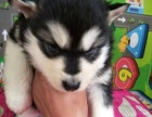 出售自家狗狗生的阿拉斯加幼犬价格实惠