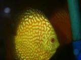 七彩神仙鱼 热带观赏鱼活体 招财鱼